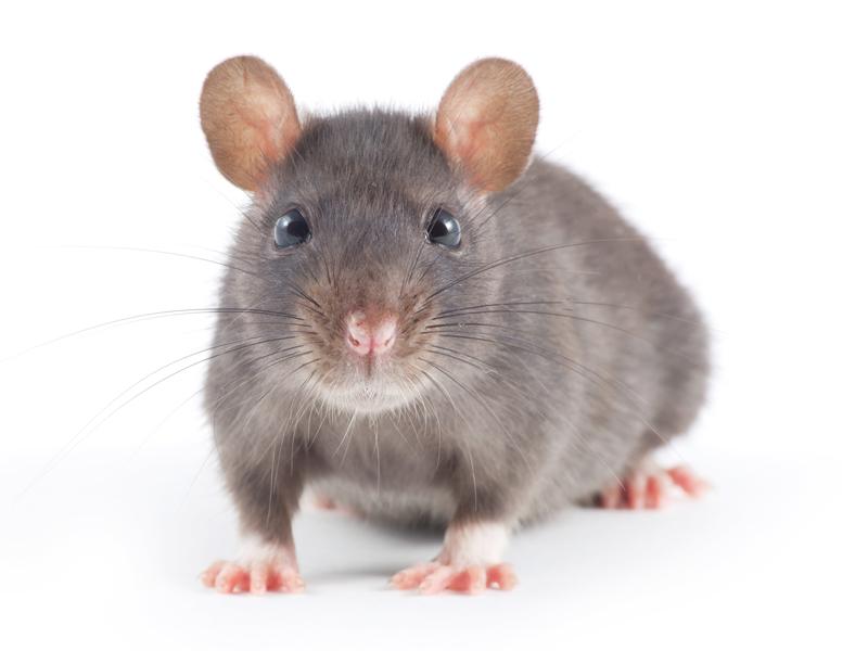 deratisation-bruxelles-souris-rats