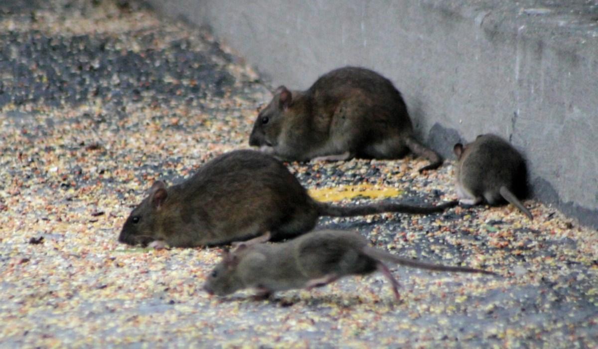 Deux rats par habitant à Bruxelles